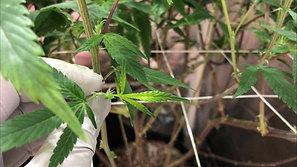 4 Indoor Cannabis Grow, Gorilla bomb, Green Crack, day 28 PugsBreath, FloraFlex Nutrients, and Quantum Boards