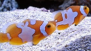 Designer clown fish -Who's the cutest?