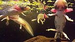 Tuxedo Axolotls @MicroQuatics