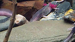 MQF Tuxedo Axolotls @MicroQuatics