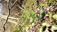 深山のカタクリの花