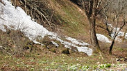 ドアサ沢頂上の天然ワサビ