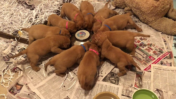 Abby pups eatting out of bowl