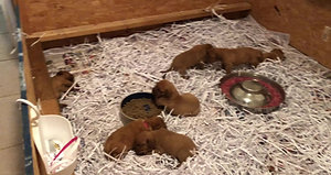 abby pups learning to eat out of bowe