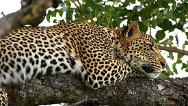No matter how many times we have seen leopard, we still get goosebumps when we see one! She's a young beauty.