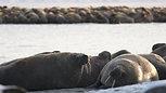 Лежбище моржей на Ямале