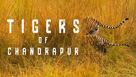 Tigers of Chandrapur