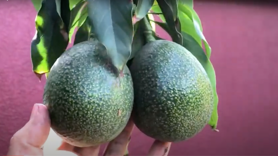 Reed Avocado Fruiting Reports