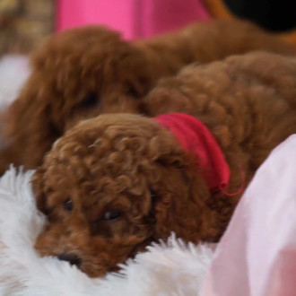 1 Goldendoodle breeder in USA - Murphy's Doodles