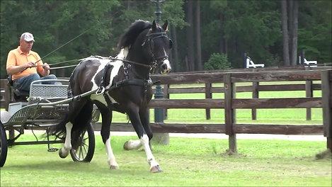 ERIK BP 50  Barock-Pinto Stallion