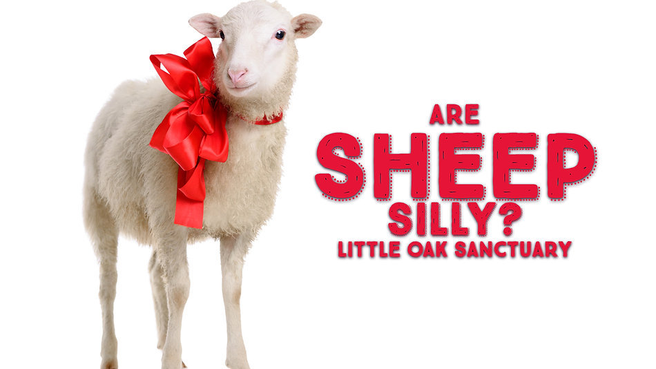 Are Sheep Silly?