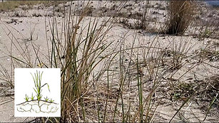 Virtual Dune Grass Planting