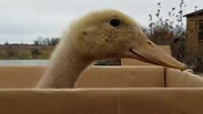 Duck in the Box