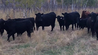 Cows and 2017 calves