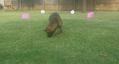 12 Weeks BFK9 Murphy Tracking His First Scent Box