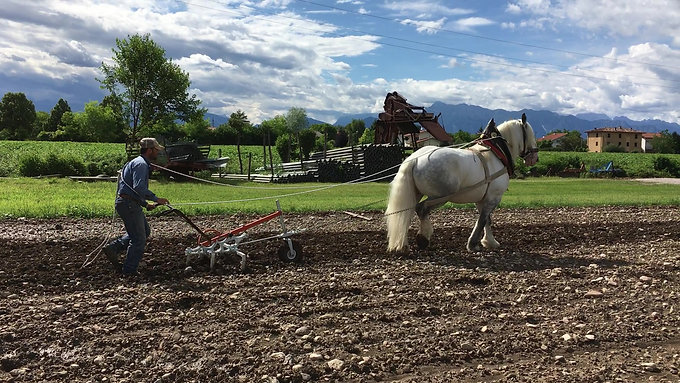 Lavoro agricolo trazione animale