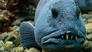 The Incredible Ugly Fish