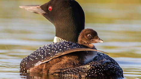 Saving the Loons