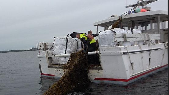 Edible Sea Kelp in the middle of Casco Bay ME