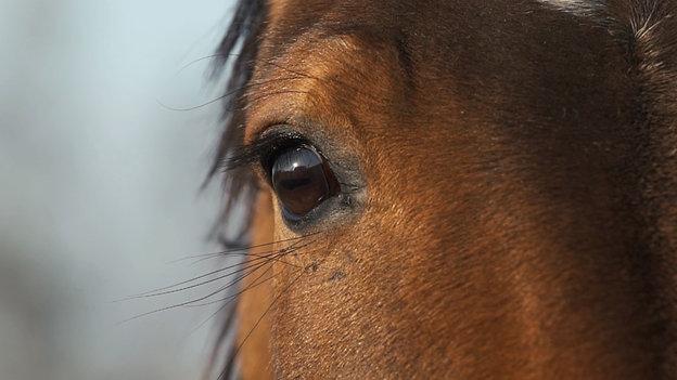 Mītavas zirgi/Mitau horses