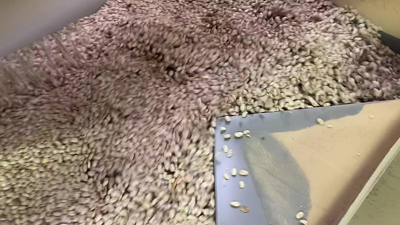 Colorado dry bean harvest