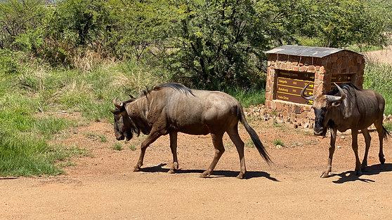 Manada de Ñus en el Parque Nacional de Pilanesberg (1080p)
