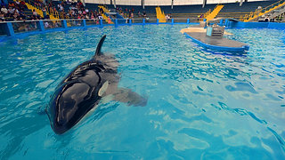 A Day in the Life of Lolita, the Performing Orca