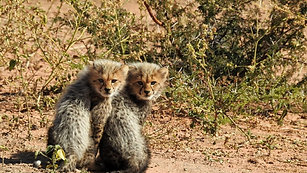 Cheetah Cubs - First time ever seen out and about!