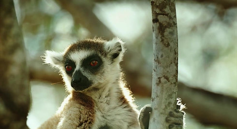 Gangs Of Lemur Island - Sizzle