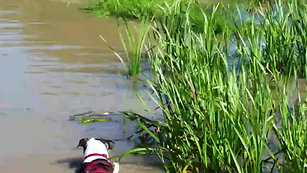 Help!  My Staffy thinks he's a duck!!