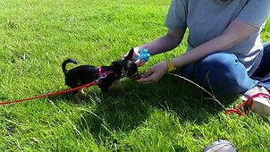 Cute Chorkie pup's amazing recall !