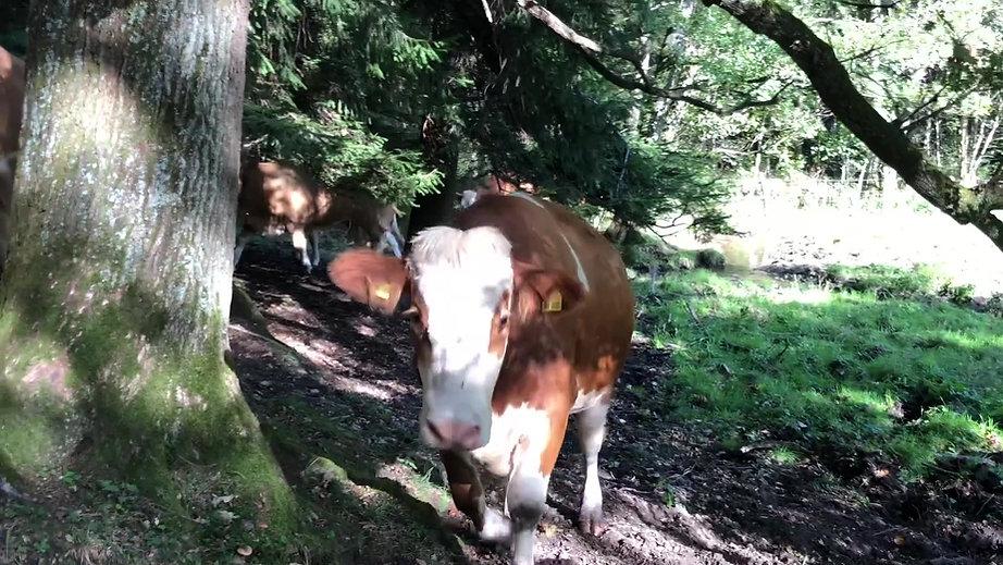 Thomahof in Brandl - glückliche Rinder
