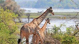 Malawi Gains New Giraffe Population in Majete