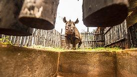 Rhinos Return to Rwanda