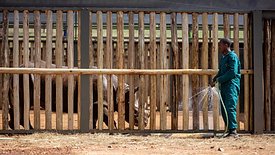 Grumeti Black Rhino Translocation