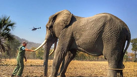 500 Elephants on the Move in Malawi 2