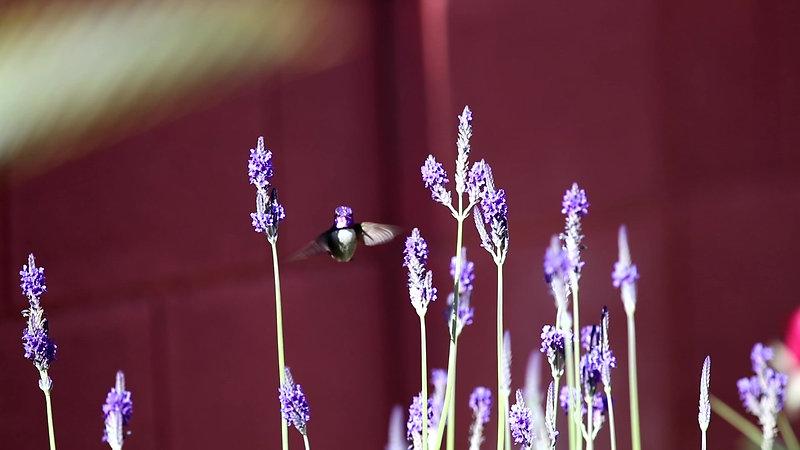 Hummingbird In Slow Motion