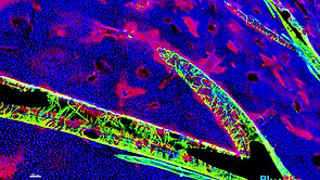 3D bio Image of mouse liver tissue