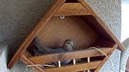 Mourning Dove Builds Nest