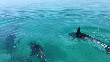 Dolphins of Vilanculos