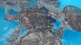 Young Turtles at a Turtle Sanctuary in Cayo Largo, Cuba