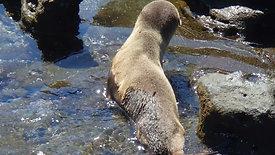 Galapagos: baby seal