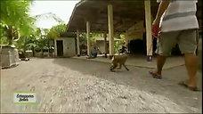 singes cueilleurs de noix de coco