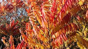 Autumn Colours Sumac