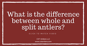 What is the difference between whole and split antlers?