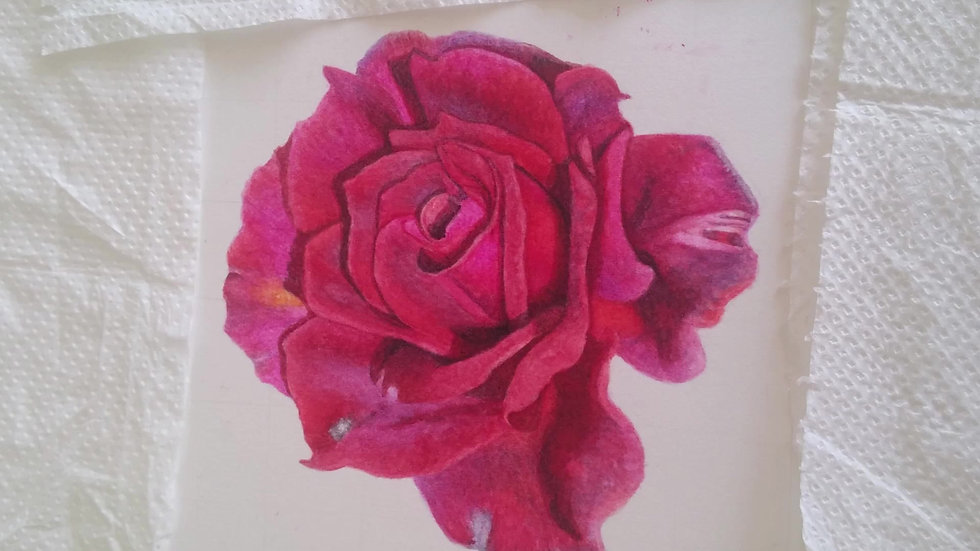 Velvety red rose timelapse video
