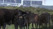 Film-Fairfleisch Rinder