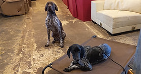 2 German Shorthaired Pointers dog training