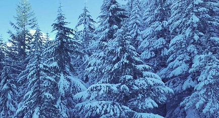 Snow forest ❄