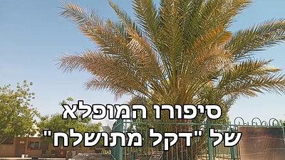 דקל מתושלח - העץ העתיק החדש בעולם